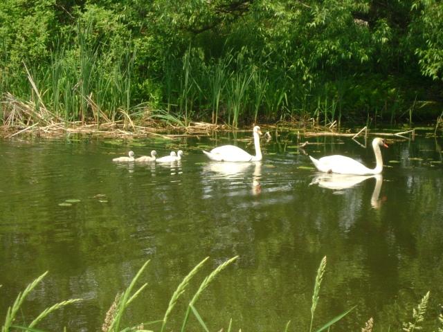 Baby swans